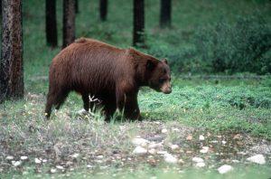 Medveď vytiahol ženu zo stanu a zabil ju. Podobný prípad poznáme aj z Tatier. Ako tomu predísť?